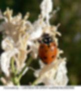 Ladybug petunia blossoms TURLOCK smw.jpg