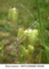 Briza maxima Rattlesnake Grass BRISBANE