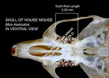 Mouse Mus musculus skull ventral SMW.jpg