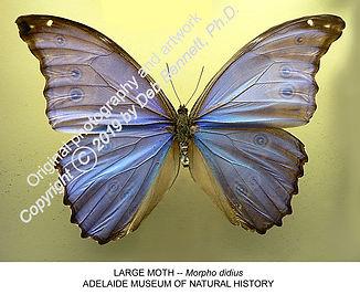 Australian Butterfly Morpho didius AD MN