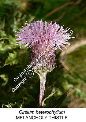 Cirsium heterophyllum Melancholy Thistle