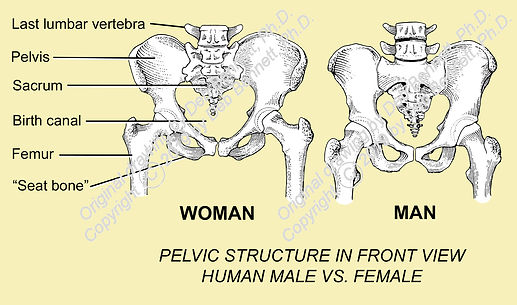 Human Woman vs Man pelvis front view smW