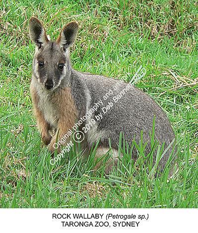 Rock Wallaby Sydney Zoo no1 SMW.jpg