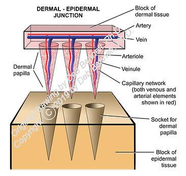 Papillae and sockets diagram smW.jpg