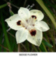 Sedge flower clsp ADELAIDE BG smw.jpg