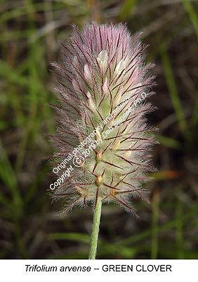 Trifolium arvense Green Clover SYDNEY sm
