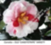 Camellia Candystripe Old Varietal smW.jp