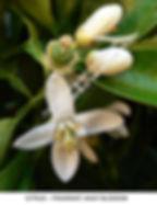 Citrus blossom TURLOCK smW.jpg