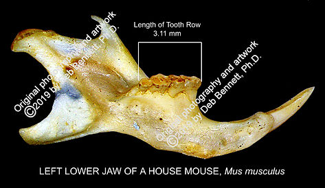 Mouse Mus musculus jaw medial view smw.j