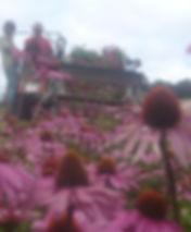 Echinacea harvesting