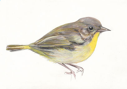 Illustration, Drawing of Common Yellowthroat, Bird, by Kazaan Viveiros