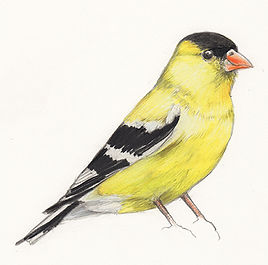 Illustration, Drawing of American Goldfinch, by Kazaan Viveiros