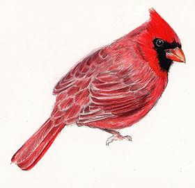 Illustration, Drawing of Cardinal, Bird, by Kazaan Viveiros