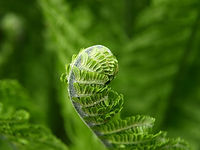 fern-green-plant-spring-56852-large.jpeg