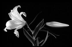 White Lily (Fran Collin)