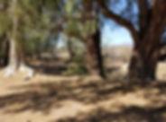 TB_Eucalyptus.jpg
