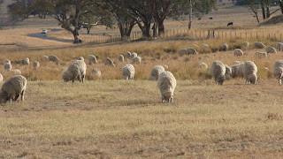 A Shepherds Life?