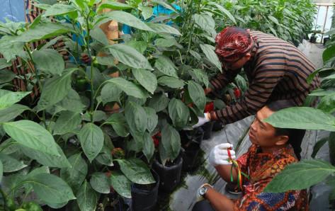Tanam Paprika di Lereng Gunung Merapi, Upaya Pizza Hut Indonesia Tingkatkan Ekonomi Petani Boyolali