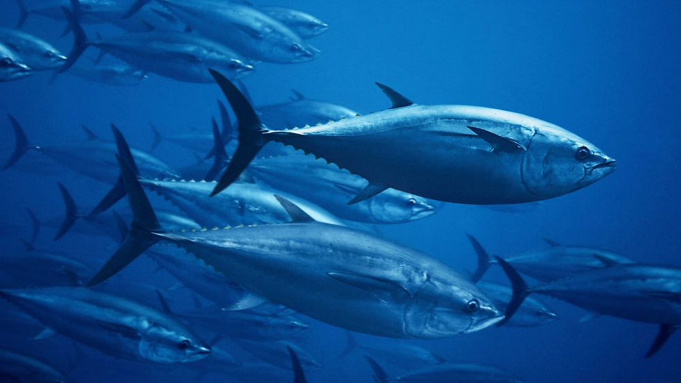 KDX03T_bluefin-tuna_web.jpg
