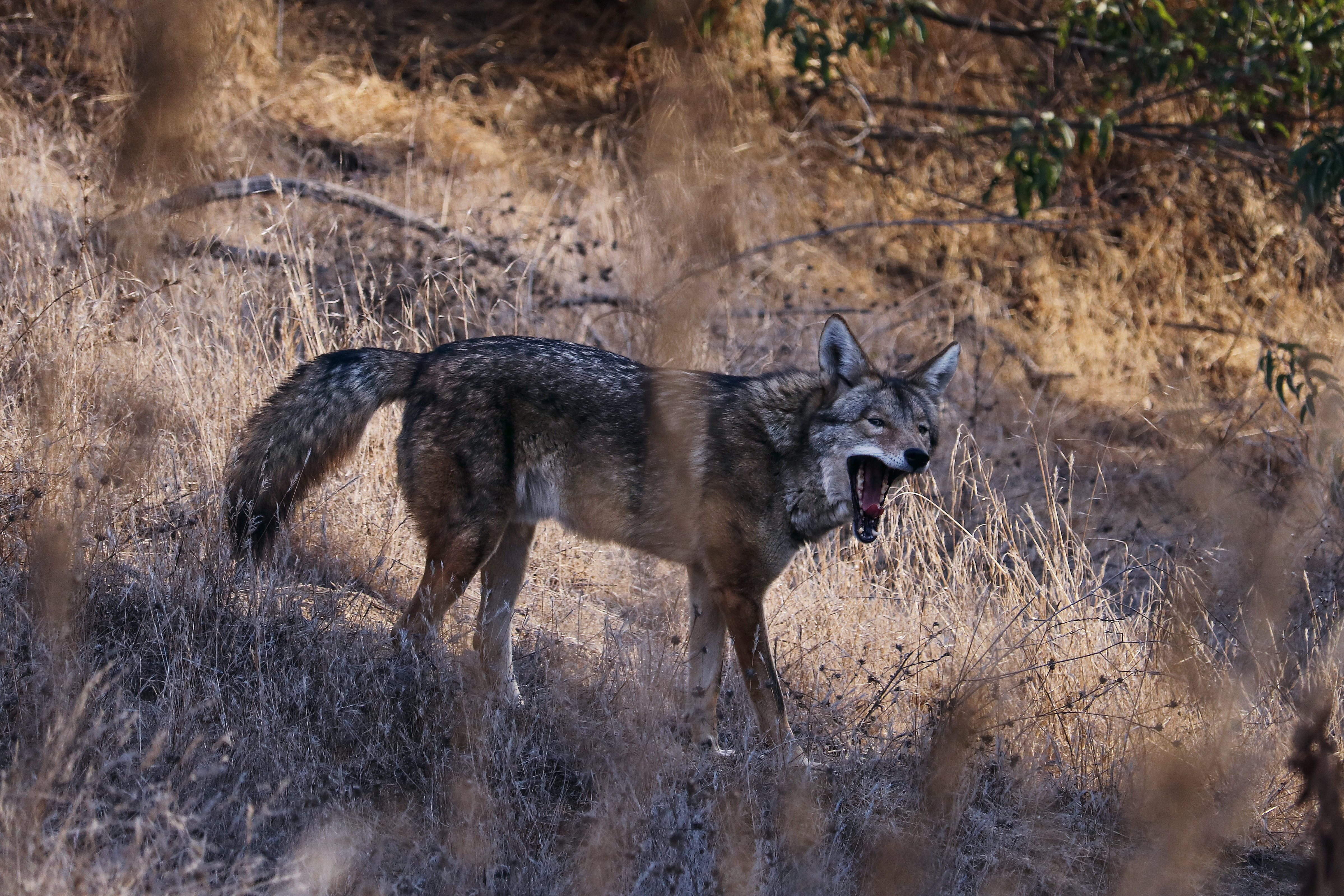 Coyote open mouth