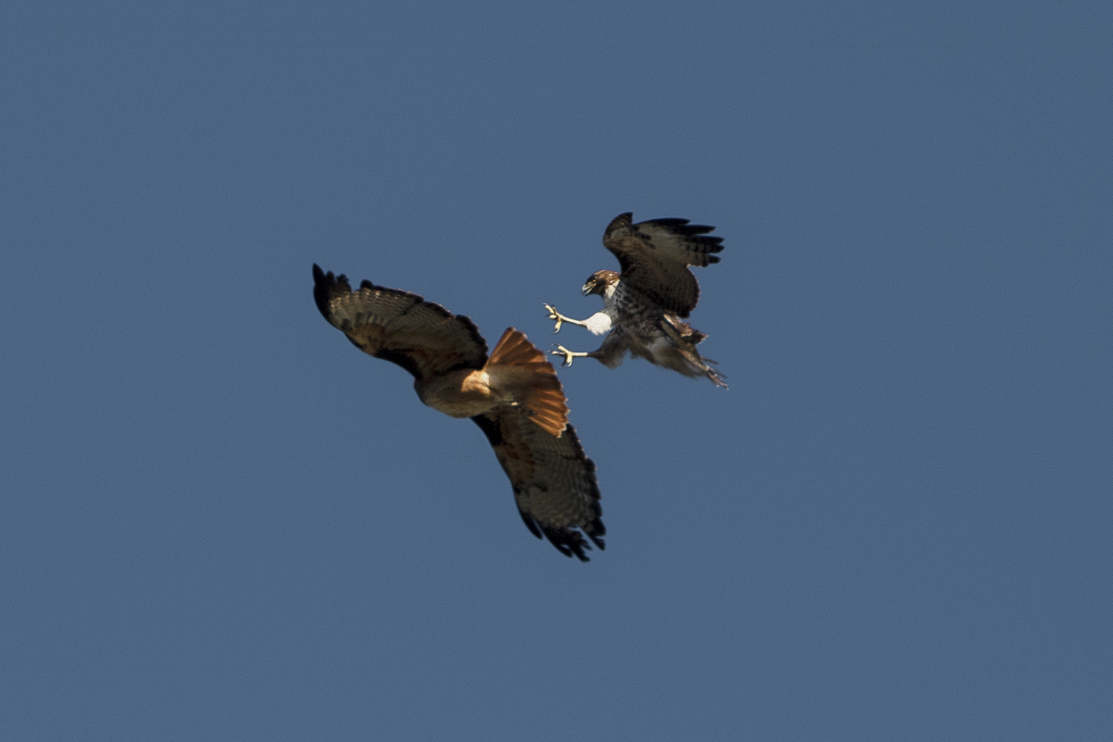 HAWKS FIGHT IN AIR