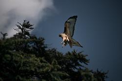 Hawk nest