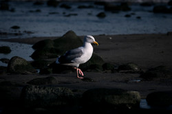 Seagul walking