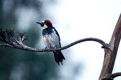 Woodpecker 15