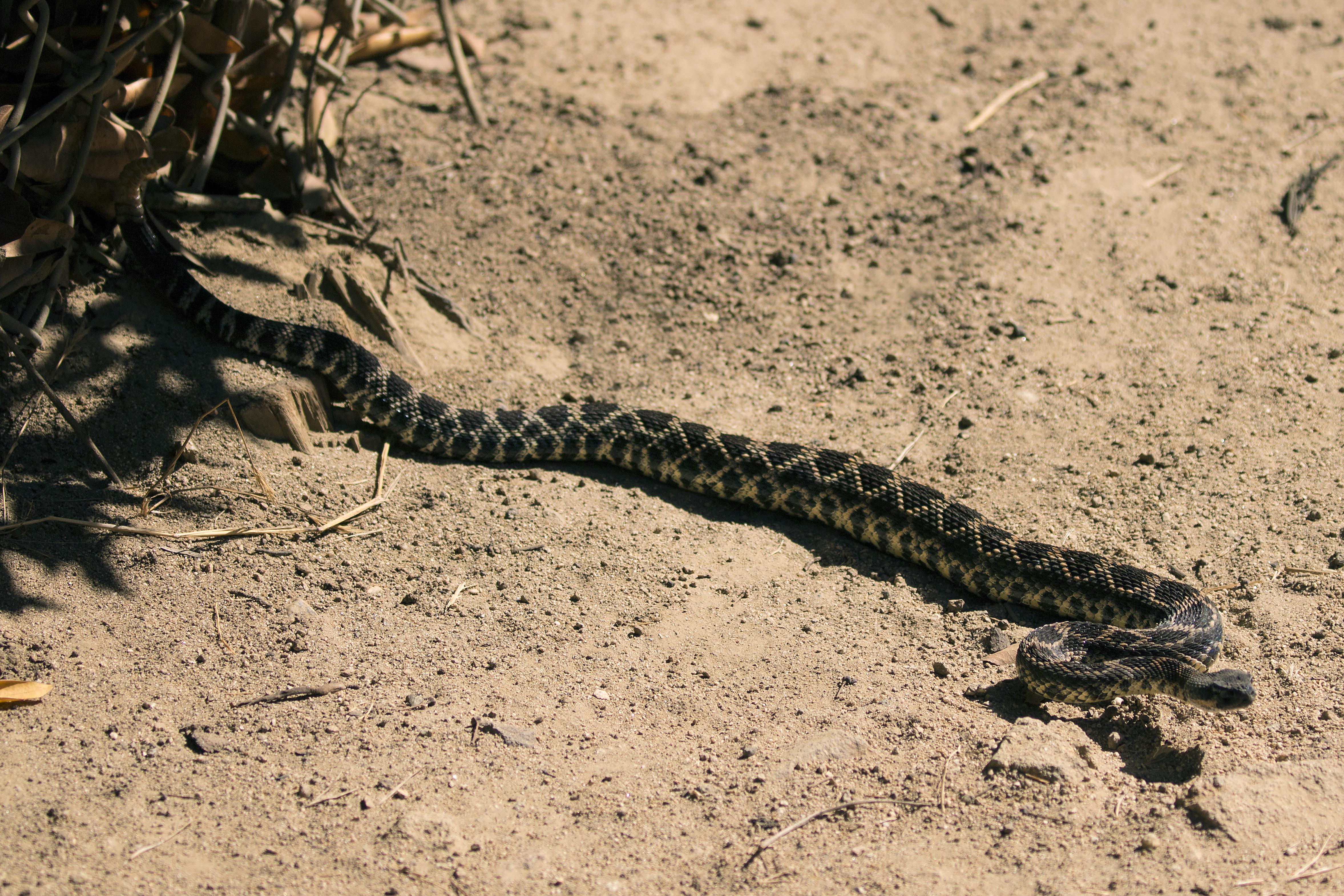 Rattle snake 2