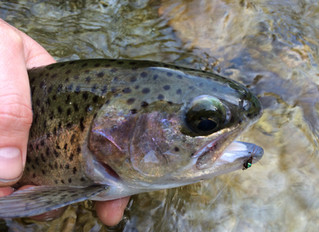 Fish Report: Winter Rainbows