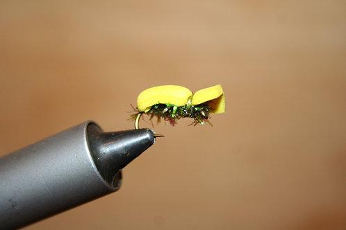 Buttered Popcorn Beetle