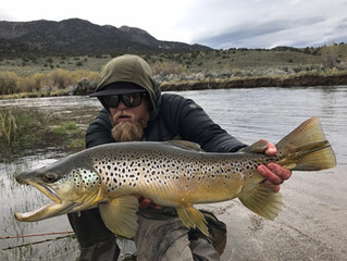 BIG BROWN and CUTTHROAT TROUT