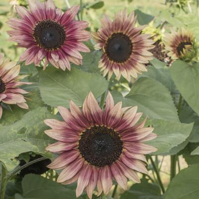 Strawberry Blonde Sunflower