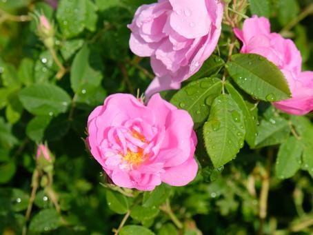 Reveling in Rose