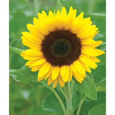 Zohar Sunflower