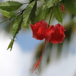 The Haitian National Flower.