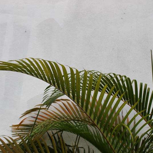 Haitian Palm Trees.
