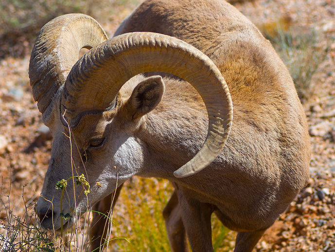 Big horn Sheep.jpg