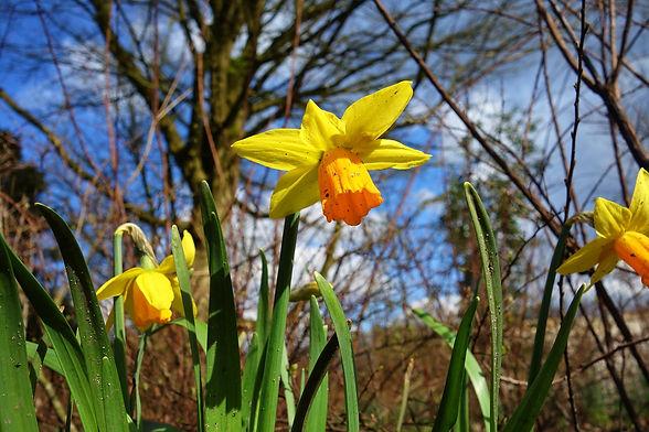 daffodil-3277162_1920.jpg