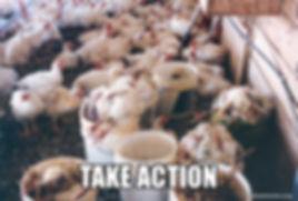 Take Action Chicken photo.jpg