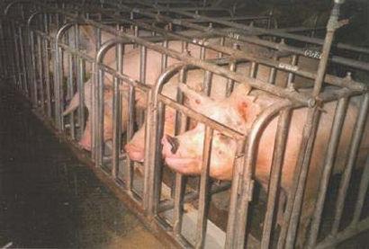 pigs10 hogwatch.jpg
