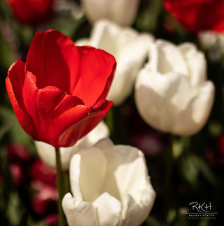 red and white flower.jpg