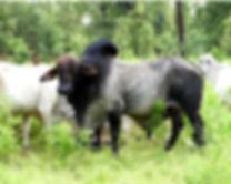All bull.jpg