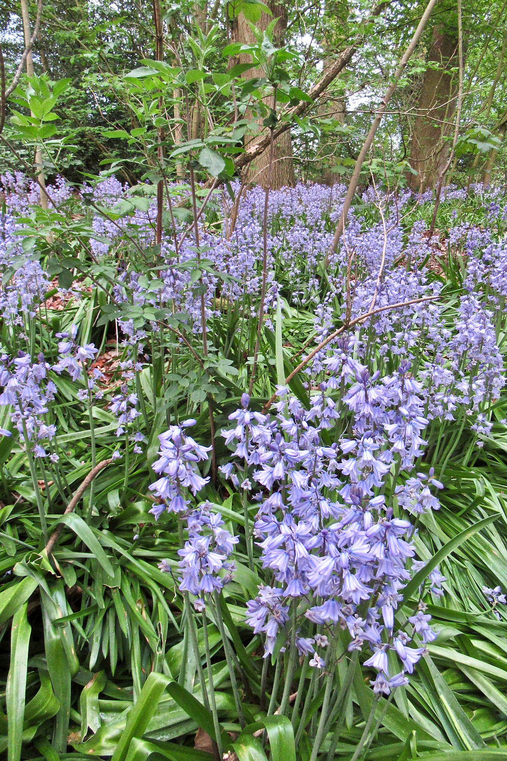bluebells in the National Forest