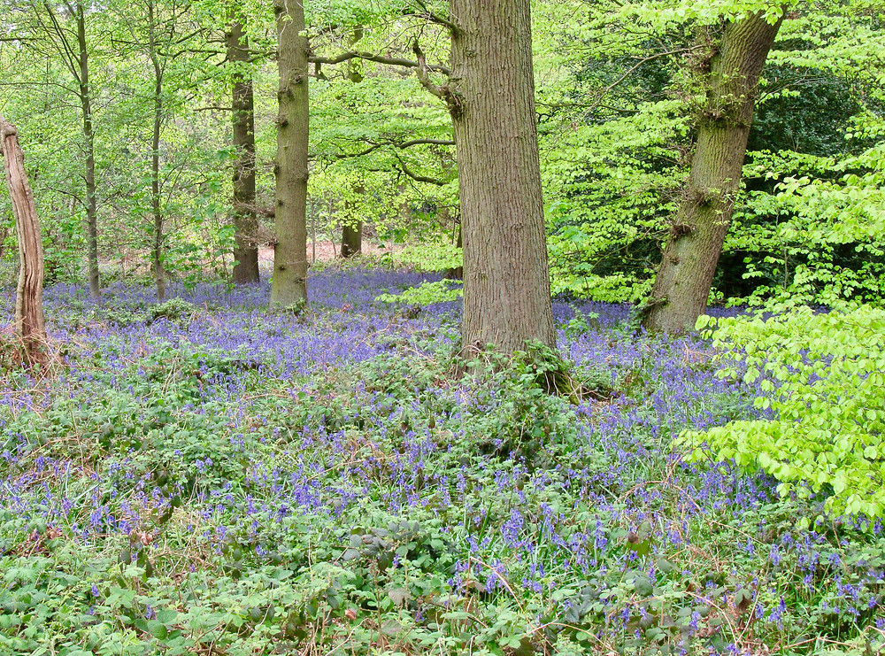 bluebell carpet at Swithland Wood