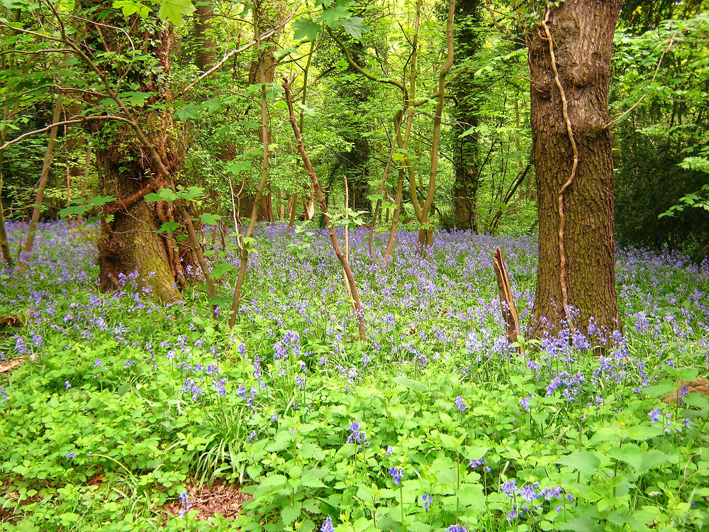 Bluebells in Grace Dieu Woods. Sustrans 52 runs through the woodland, meaning you can enjoy the bluebells on your cycle ride.
