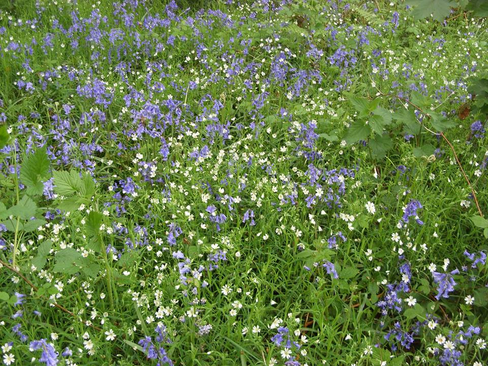 Bluebells intertwine with stitchwort at Holly Hayes wood, near Whitwick