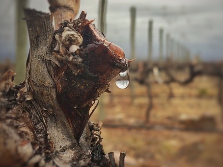 The science behind vineyard's bleeding