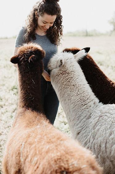Füttern von drei Alpakas bei einer Alpaka-Wanderung