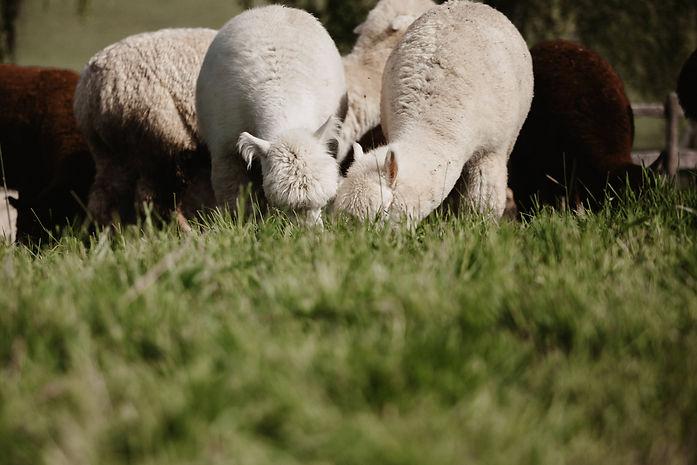 Zwei Alpakas grasen auf einer Weide im Allgäu